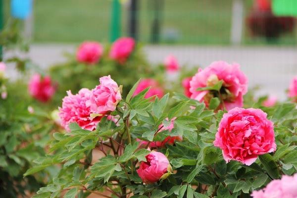 盘点十大最香的花
