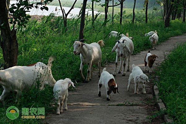 2020养羊前景如何?一只羊能赚多少钱?