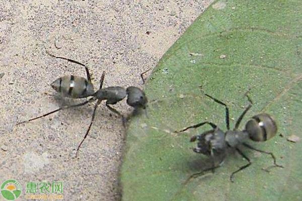 蚂蚁有哪些危害?灭蚂蚁的方法有哪些?