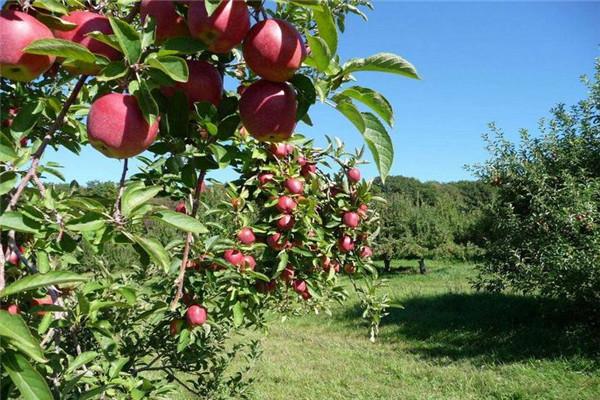 最好的苹果树新品种有哪些?