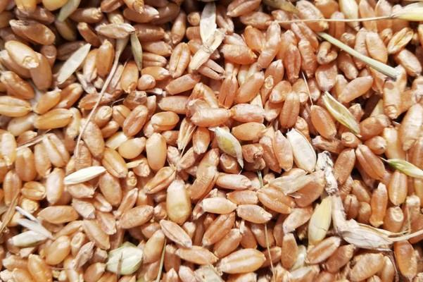 今日小麦价格多少钱一斤?2020年9月18日最新小麦价格走势
