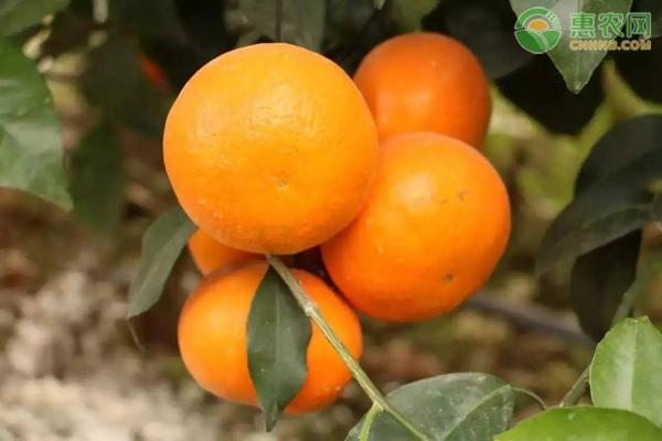 沃柑是橘子还是橙子?橘子和橙子要如何区分?