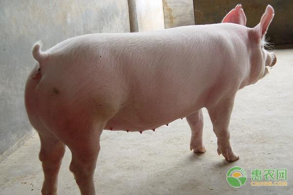 8月份猪肉价格同比上涨52.6%,预计2021年生猪价格分析