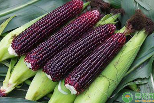 黄玉米和白玉米哪个好?