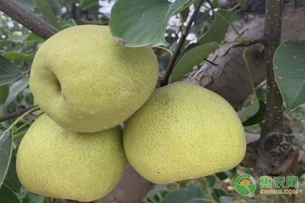苹果梨价格多少钱一斤?苹果梨是转基因水果吗?(附前景分析)