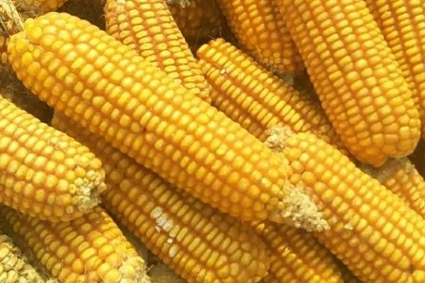 今日玉米价格多少钱一斤?2020年9月23日全国玉米价格最新行情