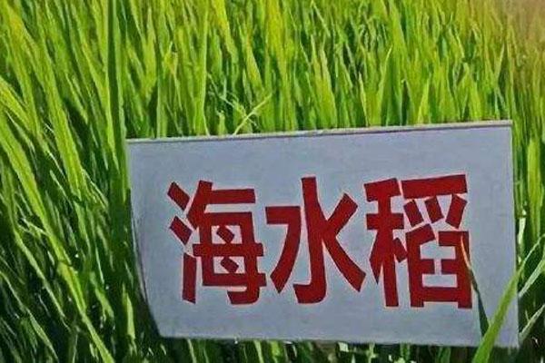 海水稻大米好吃吗?价格多少?