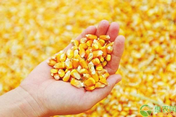 2020广东玉米价格行情预测走势