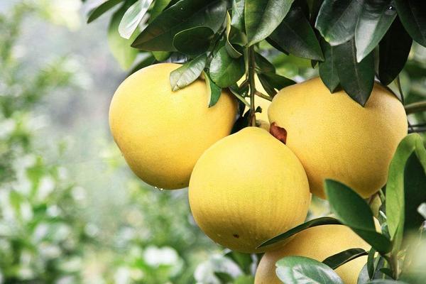 2020年蜜柚价格多少钱一斤?种植蜜柚赚钱吗?