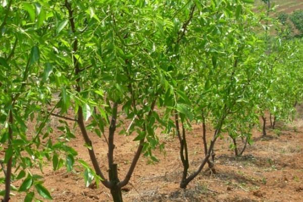 辣椒枣树苗哪里有卖的?育苗方法有哪些?