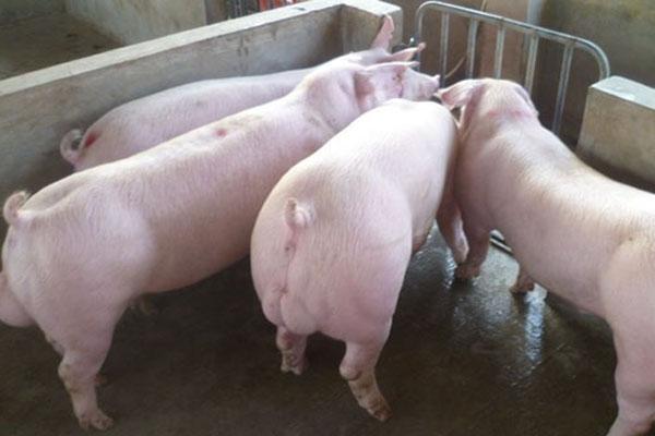 每斤猪肉多1元饲料成本是怎么回事?