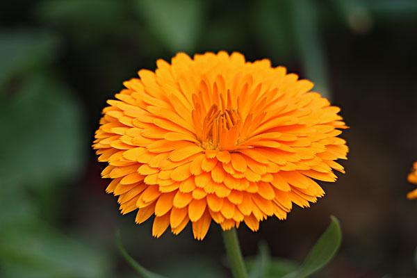 重阳节的意义是什么?为何要赏菊?