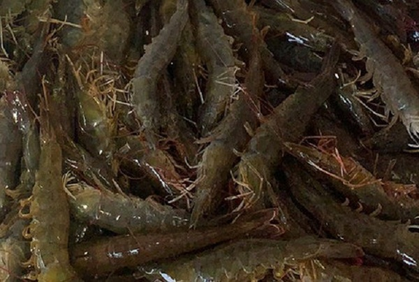 活基围虾价格多少钱一斤?基围虾和明虾哪个好?区别在哪?