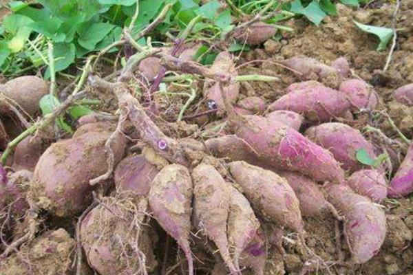 紫薯是转基因食品吗?营养价值有哪些?