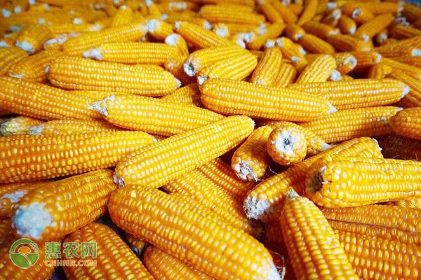 2021年玉米价格行情预测(附今日最新价格)
