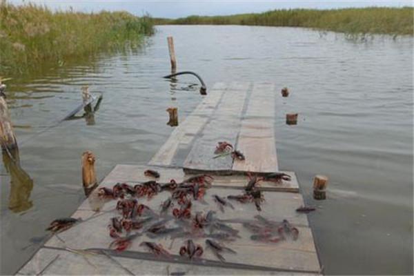 小龙虾苗价格多少钱一斤?小龙虾养殖成本利润分析