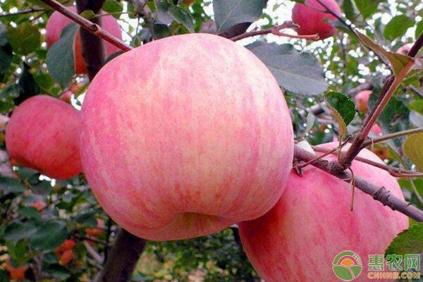 种苹果树的步骤有哪些?