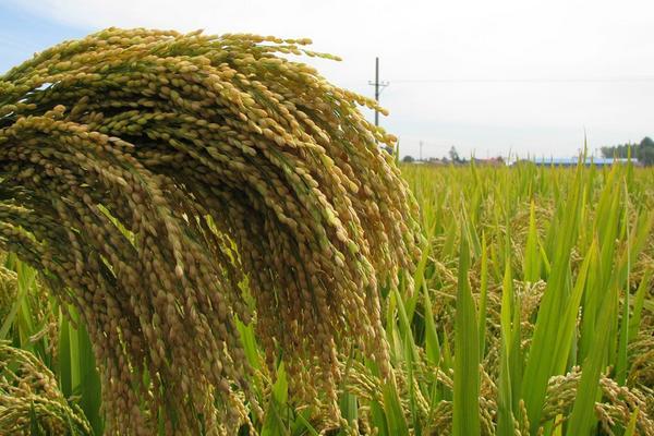 2020今日稻谷价格最新报价是多少?