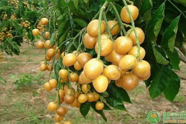 黄皮果是怎么吃的呢?有哪些保存方法?