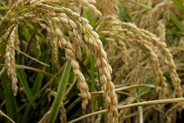今日稻谷收购价格多少钱一斤?2020年11月13日全国稻谷价格行情