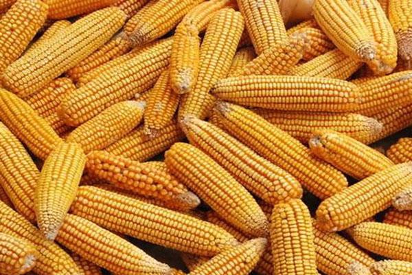 今日玉米价格多少钱一斤?2020年11月19日玉米价格最新行情
