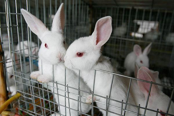 兔子寿命一般有多少年?如何分辨公母?