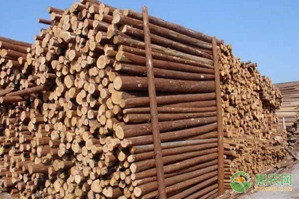 杉木有何价值用途?杉木和松木哪个好?