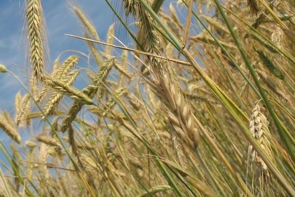 2020年12月小麦价格预测(附今日小麦价格介绍)