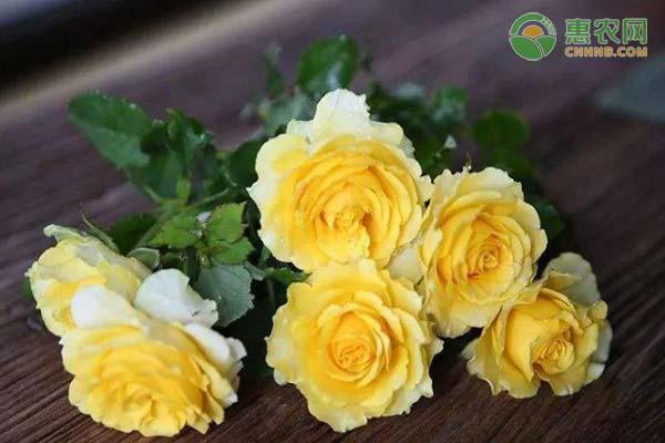 最美的黄月季品种有哪些?