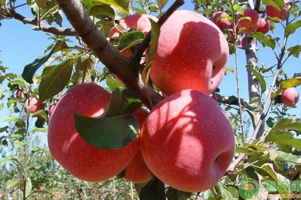 吃苹果有什么好处?真能减肥吗?粉苹果和脆苹果的区别
