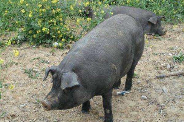 苏太母猪产仔一般一窝多少只?苏太母猪和二元母猪哪个好?