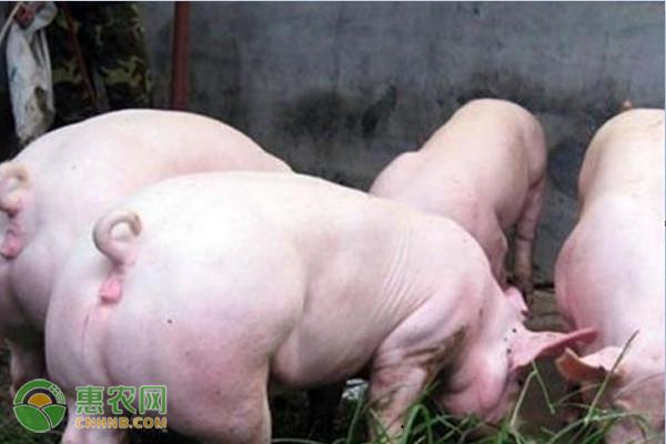 大白猪多久出栏?大白猪和长白猪哪个做种母猪好?