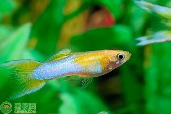 孔雀鱼怀孕多久生小鱼?
