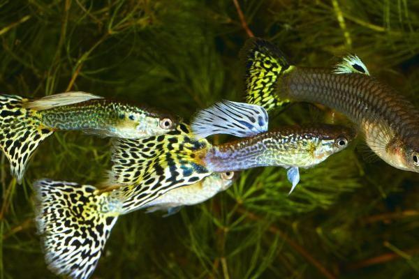 养孔雀鱼的技巧有哪些?