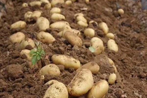 什么时候种植土豆最好?