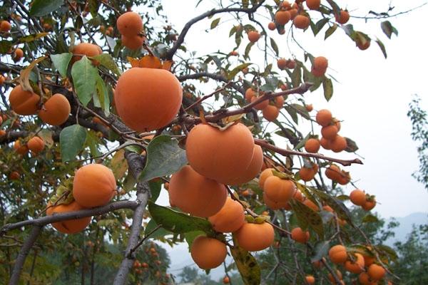 柿子的产地在哪里?有哪些功效作用?