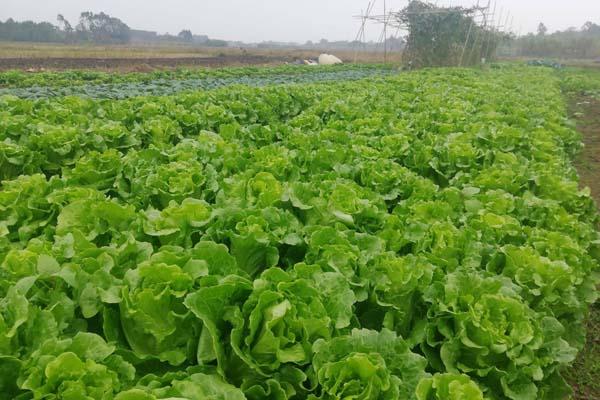 春天可以种什么蔬菜?
