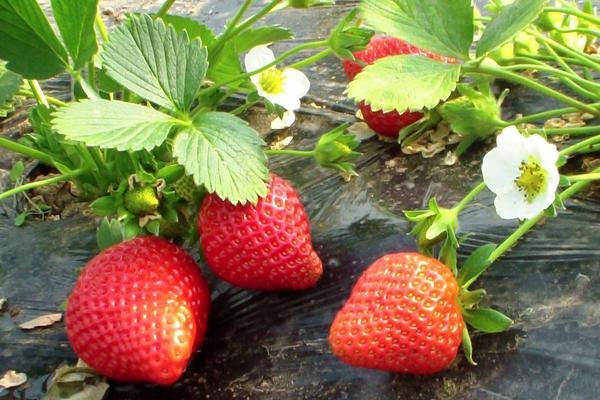 草莓什么品种最甜最大?