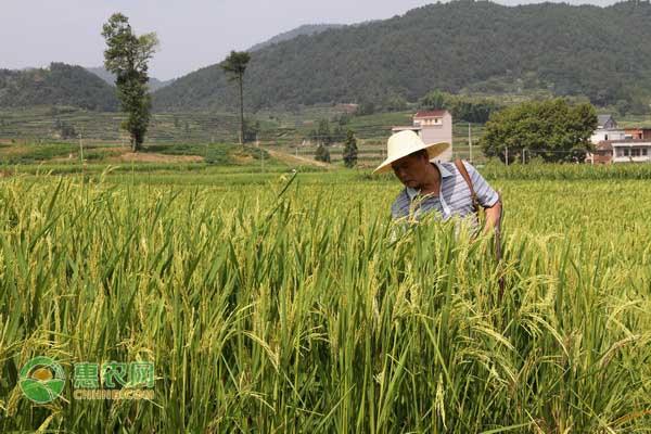2021今日水稻价格行情预测及走势分析