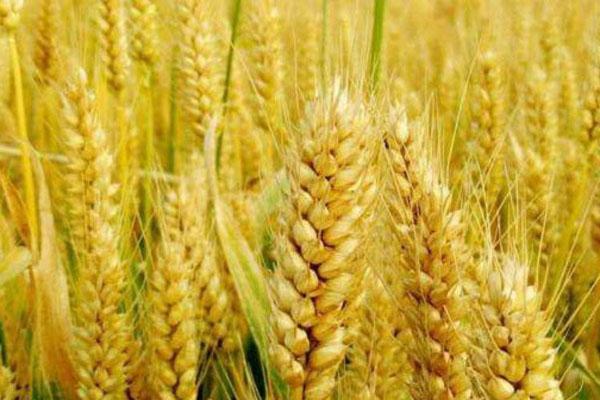 2021小麦保护价是多少钱一斤?为什么10年没太大变化?