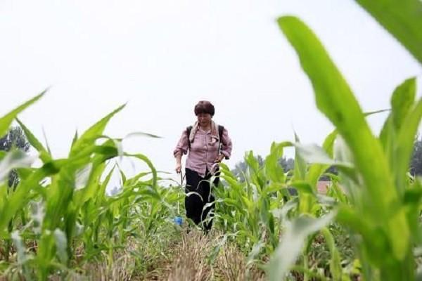 2021年玉米行情走势分析及行情预测