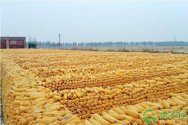 2021年春节后玉米走势预测及分析(附今日最新玉米价格)