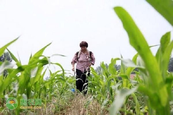 玉米营养价值丰富,如何选购玉米种子呢?