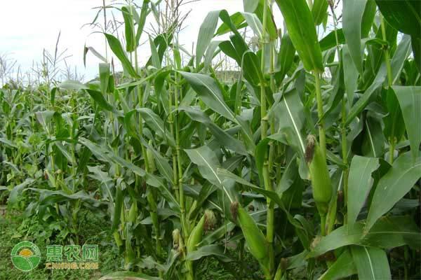 玉米价格恢复性上涨 种植面积有望增加 建议各方理性看待粮价上涨