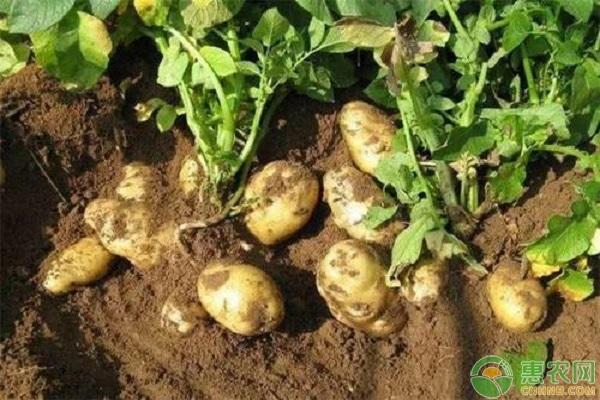 土豆种价格多少钱一斤?有哪些生长条件?