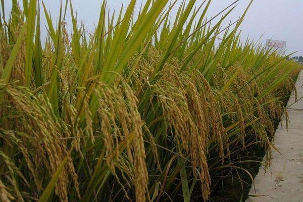 2021年水稻托市价格预测