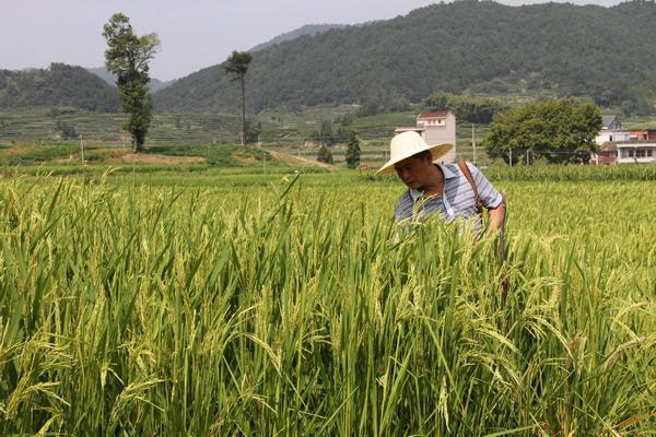 2021年水稻最低收购价会提高吗?什么时候发布通知?