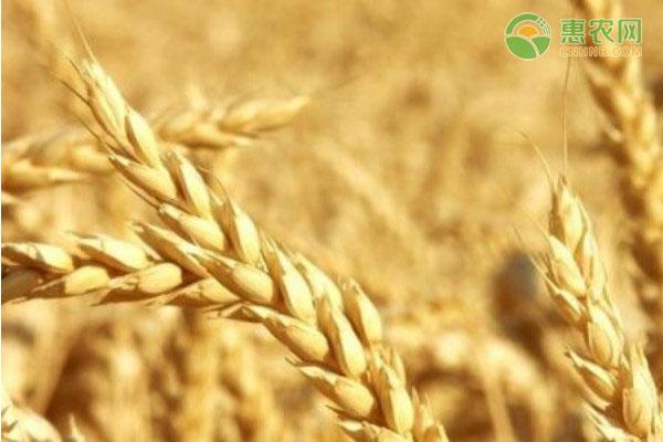 2021小麦最新价格与走势分析