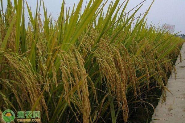 2021年黑龙江省水稻价格多少钱一斤?有补贴吗?
