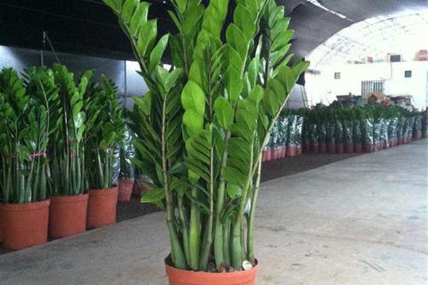 办公室绿植有哪些品种?